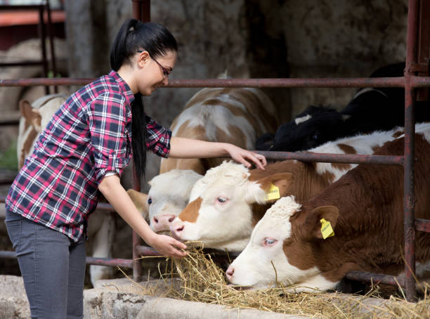 Farmer girl feeding heifers Young pretty girl feeding heifers in front of barn on the farm female animal stock pictures, royalty-free photos & images