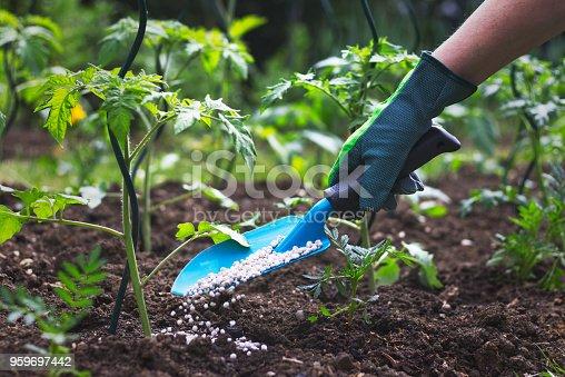 Hand in glove holding shovel and fertilize seedling in organic garden.