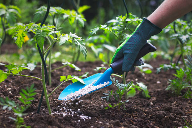 Farmer giving granulated fertilizer to young tomato plants stock photo