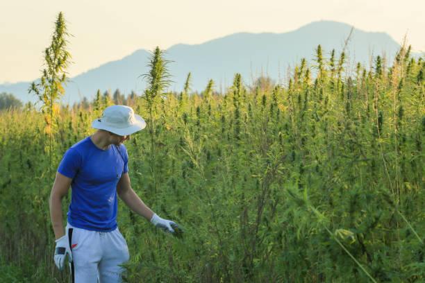 Farmer growing hemp on the countryside stock photo