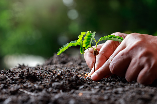 937082408 istock photo Farmer hand planting sprout (tamarind tree) in fertile soil. 1201109793