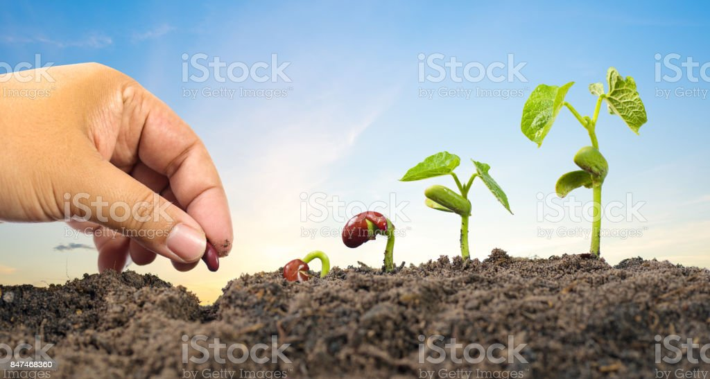 Farmer hand seed planting with seed germination sequence stock photo