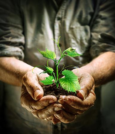 Farmer Manos Sosteniendo Una Planta Joven Verdevida Nueva Foto de stock y más banco de imágenes de 2015