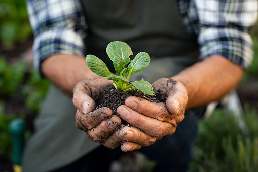 Senior man hands holding fresh green plant. Wrinkled hands holding green small plant, new life and growth concept. Seed and planting concept.