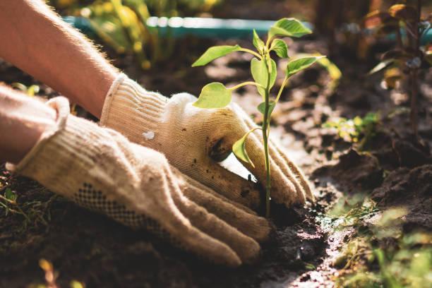농부의 손은 보살핌을 받고 토양 땅에 있는 어린 새싹 식물을 보호합니다. - 원예 뉴스 사진 이미지