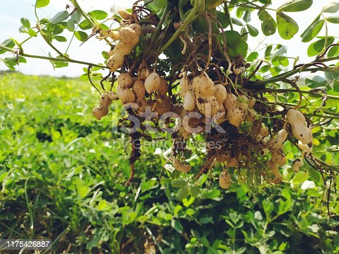Dirt, Food, Vegetable, Peanut - Food, Agricultural Field