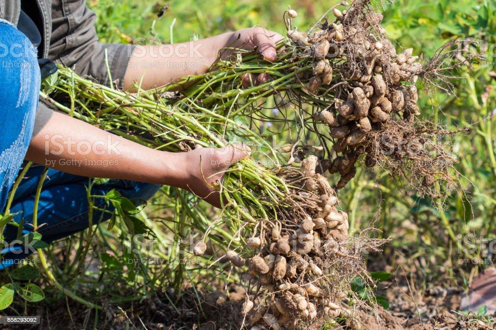 farmer harvest peanut stock photo