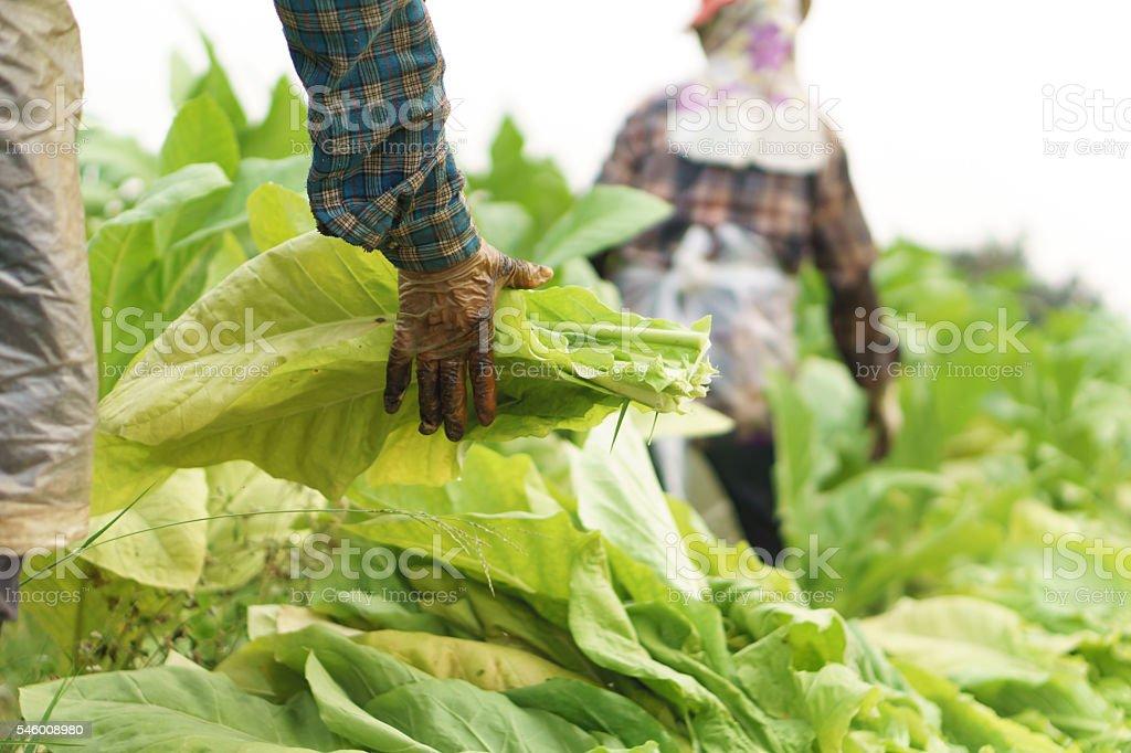 Farmer harvest tobacco stock photo
