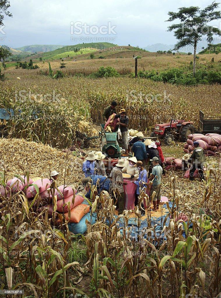 Farmer harvest yellow coin on fields stock photo