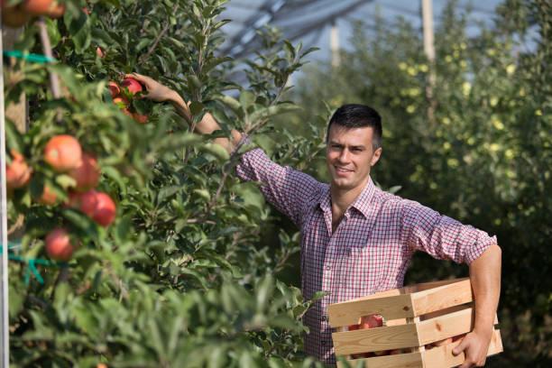 bauern ernten äpfel im obstgarten - obstgarten stock-fotos und bilder