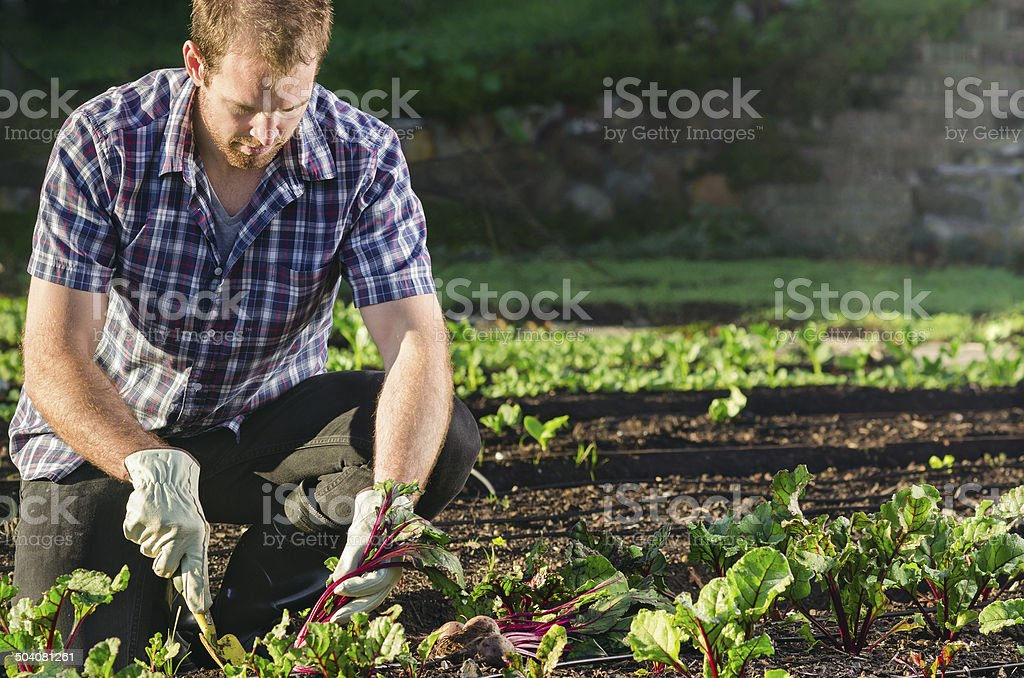 Farmer harvesting beetroot in the vegetable patch garden stock photo