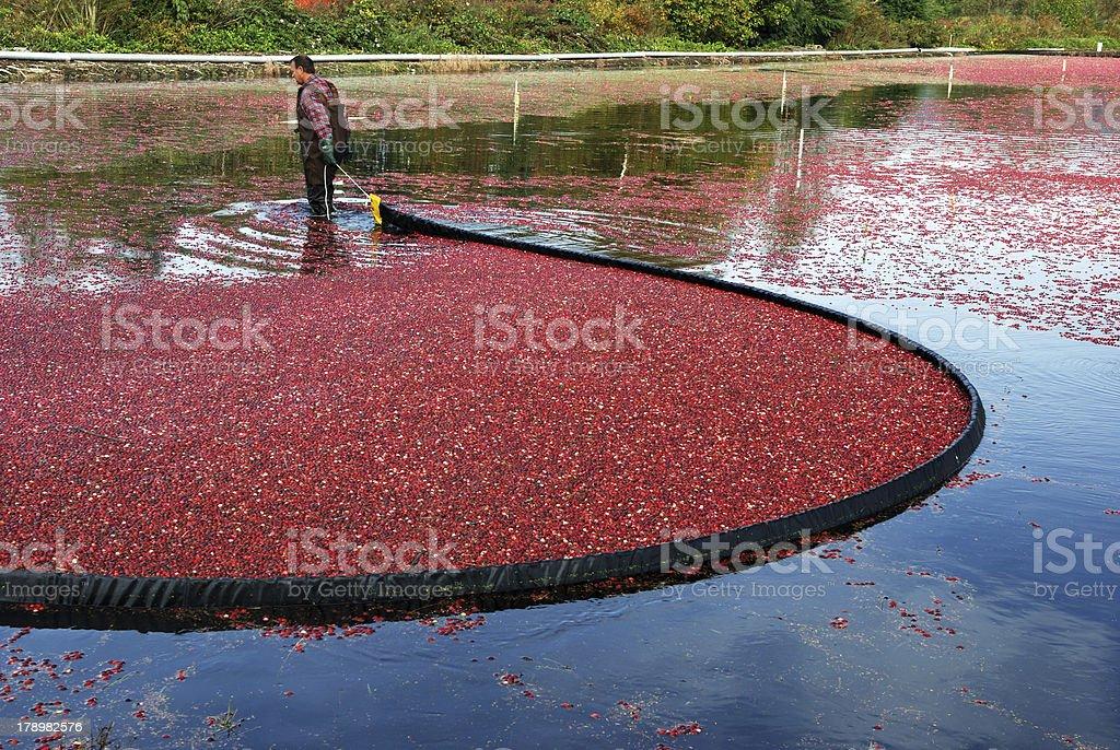 farmer harvesting cranberries royalty-free stock photo