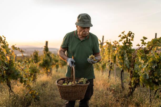 Farmer harvesting grape in vineyard stock photo