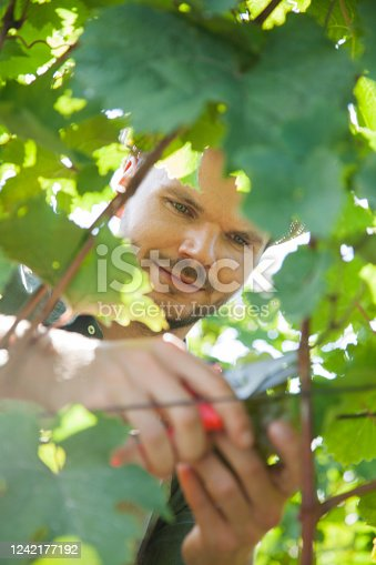 540524550 istock photo Farmer harvesting grapes close up 1242177192