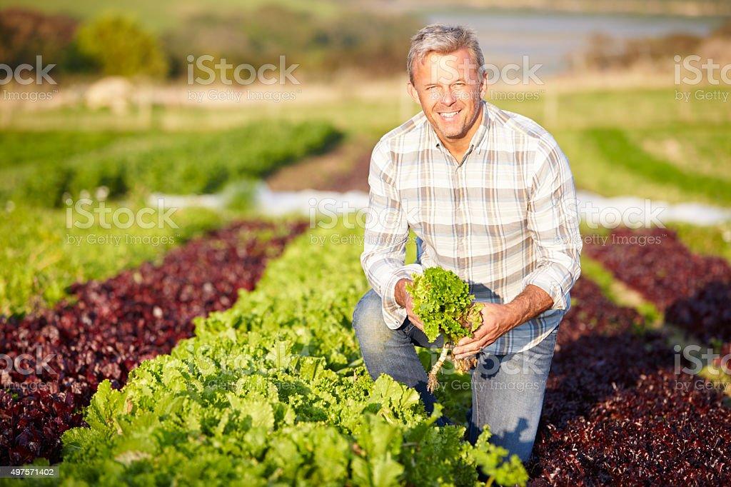 Farmer de recolección de una ensalada de hojas de granja orgánica - foto de stock