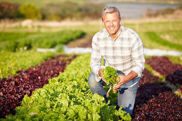 farmer harvesting organic salad leaves on farm - organic farm stock photos and pictures
