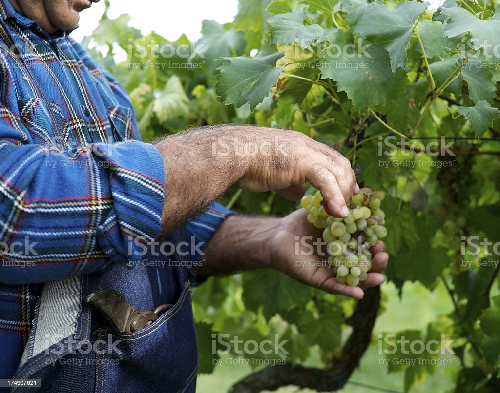 Farmer harvesting the grapes royalty-free stock photo