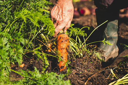 hand picking carrots.