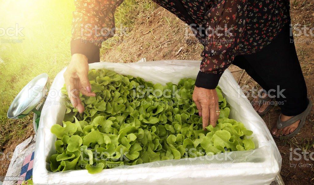 Farmer harvests Hydroponics plants. Aeroponics Salad vegetable. stock photo