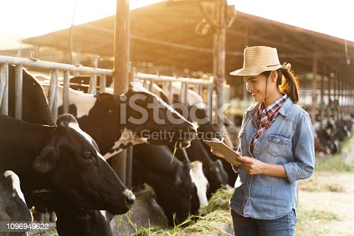 Farmer have recording details on the tablet of each cow on the farm.
