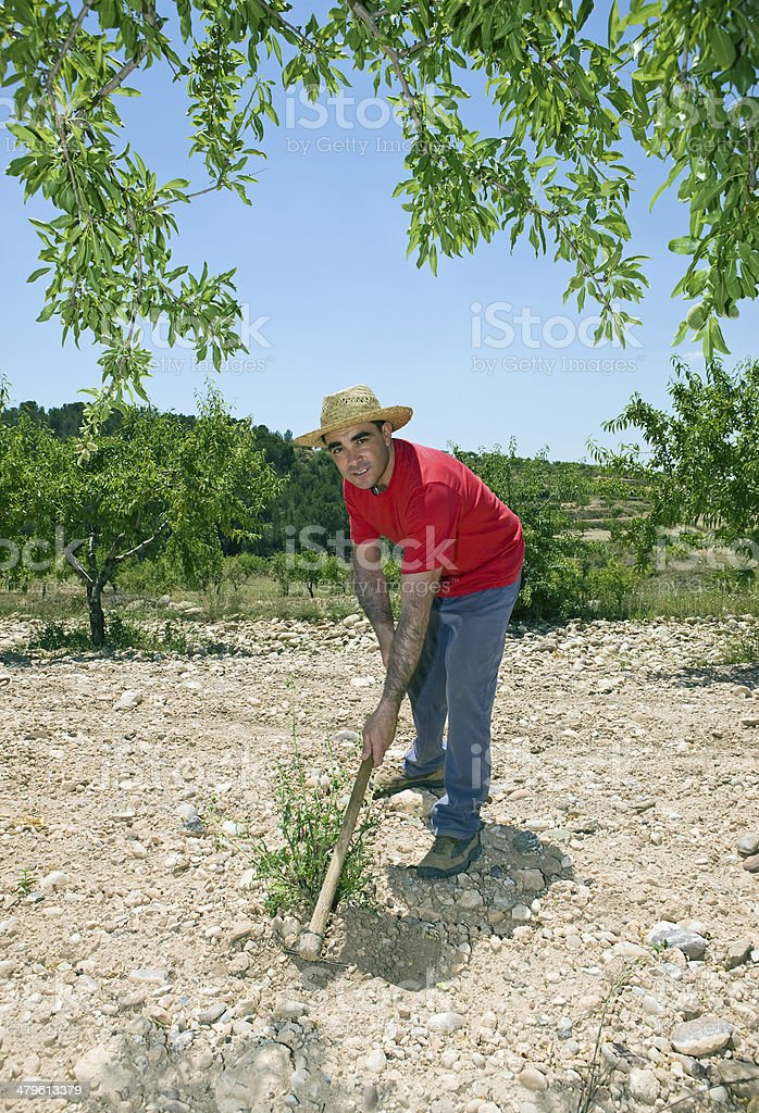 Farmer Hoeing In Olive Orchard royalty-free stock photo