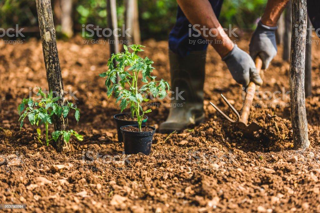 Farmer hoeing the garden stock photo