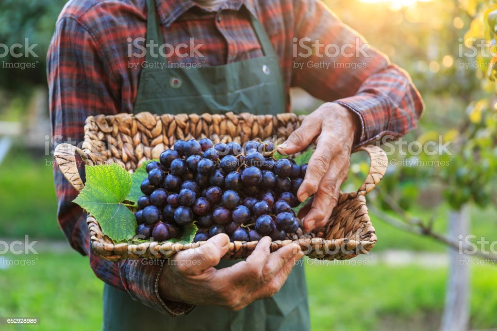 Farmer holding a basket with black grape stock photo