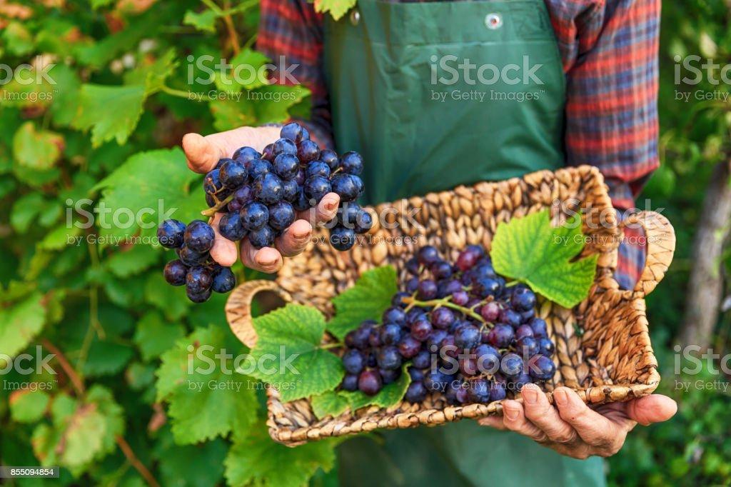 Farmer holding a basket with black grape stock photo