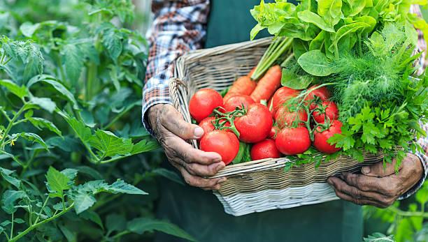 농부 홀딩-바구니 신선한 채소, 클로즈업 - 딜 허브 뉴스 사진 이미지