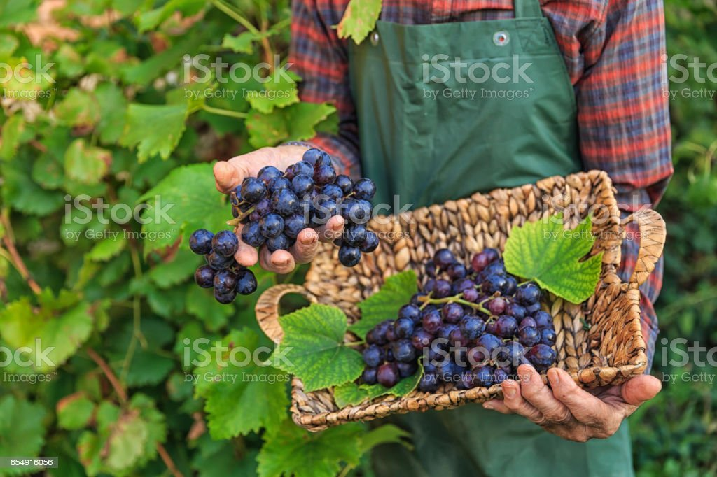 Farmer holding a basket with grapes from garden stock photo