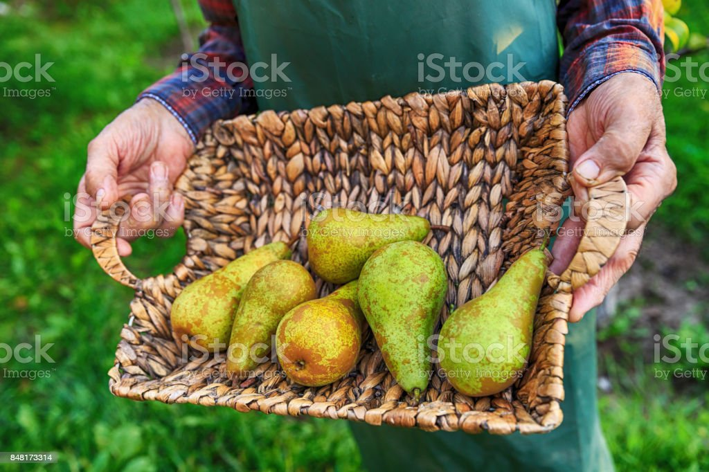 Farmer holding a basket with pears stock photo