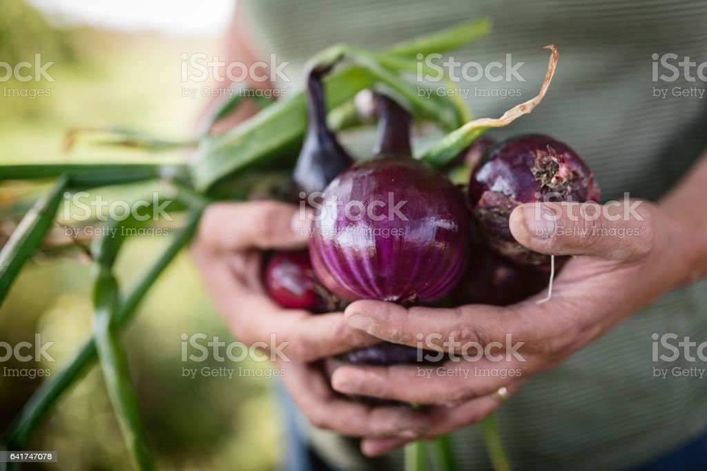 Farmer Holding a Bunch of Freshly Picked Red Onions. stock photo
