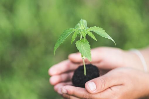 1082247550 istock photo Farmer Holding a Cannabis Plant, Farmers are planting marijuana seedlings. 1082247548