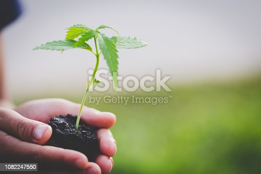istock Farmer Holding a Cannabis Plant, Farmers are planting marijuana seedlings. 1082247550