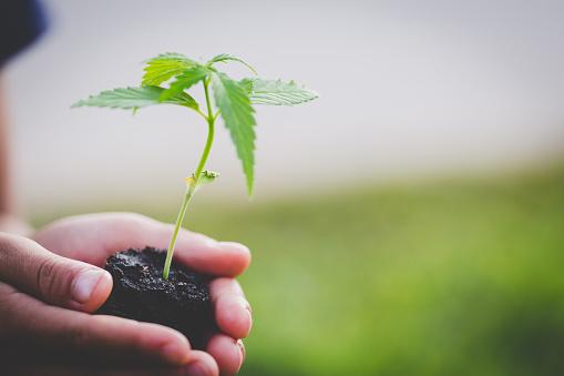 istock Farmer Holding a Cannabis Plant, Farmers are planting marijuana seedlings. 1082247550