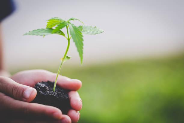 boer holding een cannabisplant, boeren zijn het planten van marihuana zaailingen. - hennep stockfoto's en -beelden