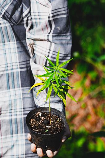 1082247550 istock photo Farmer Holding a Cannabis Plant, Farmers are planting marijuana seedling 1175930921