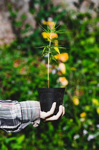 1082247550 istock photo Farmer Holding a Cannabis Plant, Farmers are planting marijuana seedling 1175930922