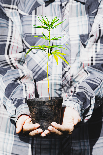 1082247550 istock photo Farmer Holding a Cannabis Plant, Farmers are planting marijuana seedling 1175930956