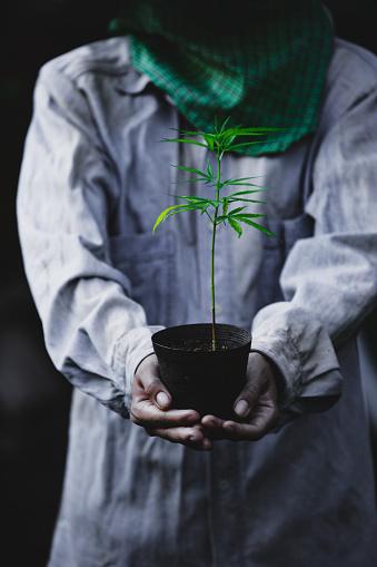 1082247550 istock photo Farmer Holding a Cannabis Plant, Farmers are planting marijuana seedling 1175930960