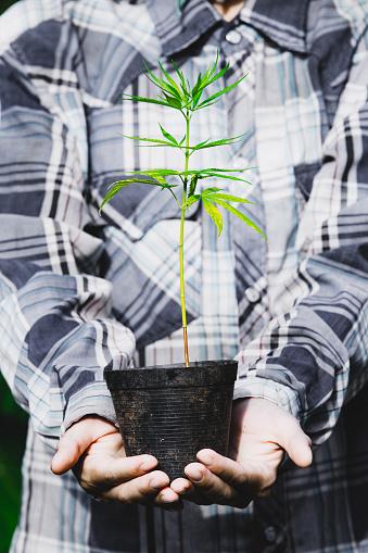 1082247550 istock photo Farmer Holding a Cannabis Plant, Farmers are planting marijuana seedling 1175930962