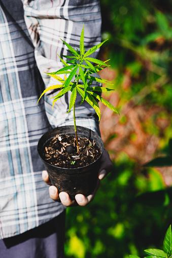 1082247550 istock photo Farmer Holding a Cannabis Plant, Farmers are planting marijuana seedling 1175930968