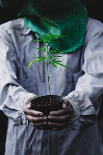 1082247550 istock photo Farmer Holding a Cannabis Plant, Farmers are planting marijuana seedling 1175930985