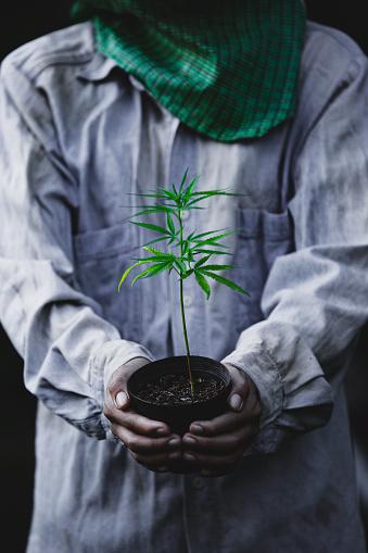 1082247550 istock photo Farmer Holding a Cannabis Plant, Farmers are planting marijuana seedling 1175930987