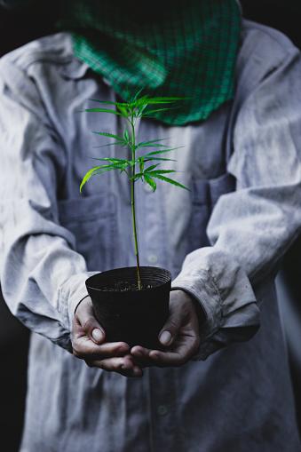 1082247550 istock photo Farmer Holding a Cannabis Plant, Farmers are planting marijuana seedling 1175930996
