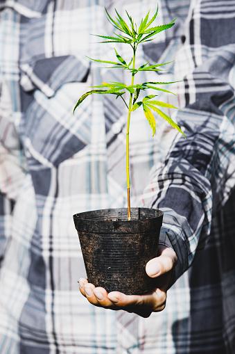 1082247550 istock photo Farmer Holding a Cannabis Plant, Farmers are planting marijuana seedling 1175931001