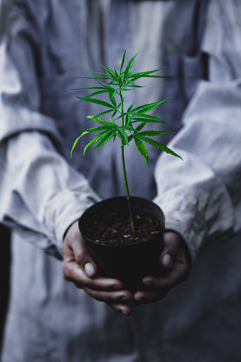 1082247550 istock photo Farmer Holding a Cannabis Plant, Farmers are planting marijuana seedling 1175931020