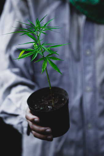 1082247550 istock photo Farmer Holding a Cannabis Plant, Farmers are planting marijuana seedling 1175931039