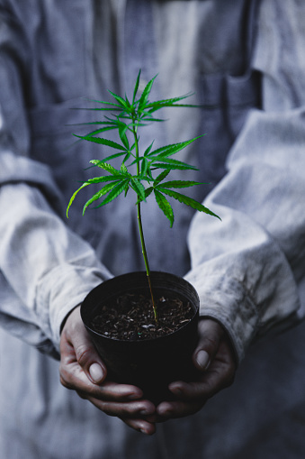 1082247550 istock photo Farmer Holding a Cannabis Plant, Farmers are planting marijuana seedling 1175931065