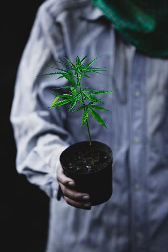 1082247550 istock photo Farmer Holding a Cannabis Plant, Farmers are planting marijuana seedling 1175931251